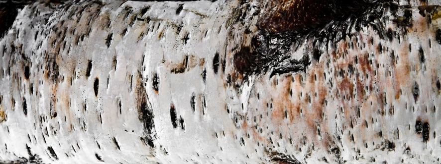 Bark silver birch