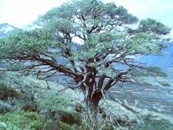 Glen Loyne 500 years scots pine