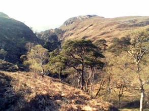 Scots Pines Achnasheallch