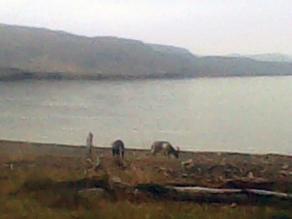 Wild goats by Loch Maree