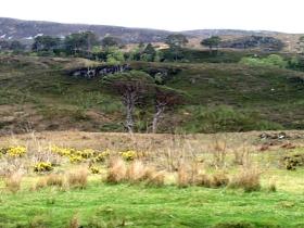 Glen Achall scots pines