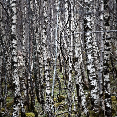Sliver Birch by Loch Maree