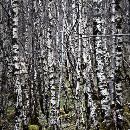 Sliver Birch by Loch Maree